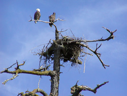 Bald Eagle - Adult & Young
