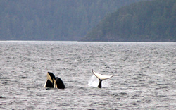 Sea kayaking and killer whales in Johnstone Strait, British Columbia