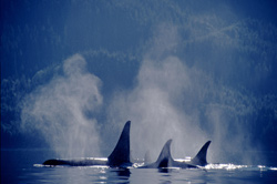 Killer Whales in Johnstone Strait