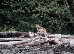 Wolves of Clayoquot Sound, BC
